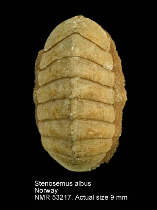 Stenosemus albus