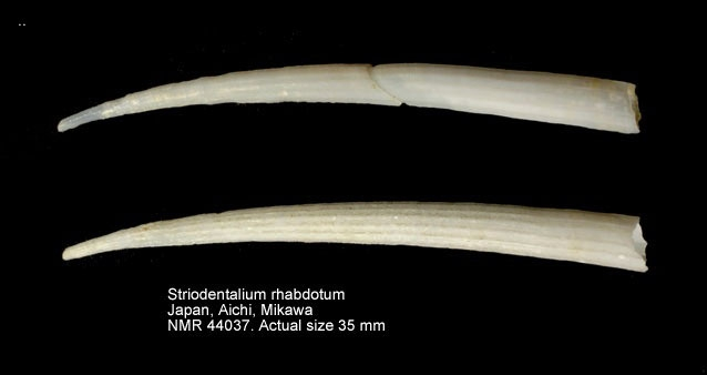 Striodentalium rhabdotum