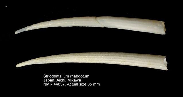 Striodentalium rhabdotum