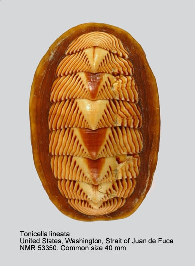 Tonicella lineata