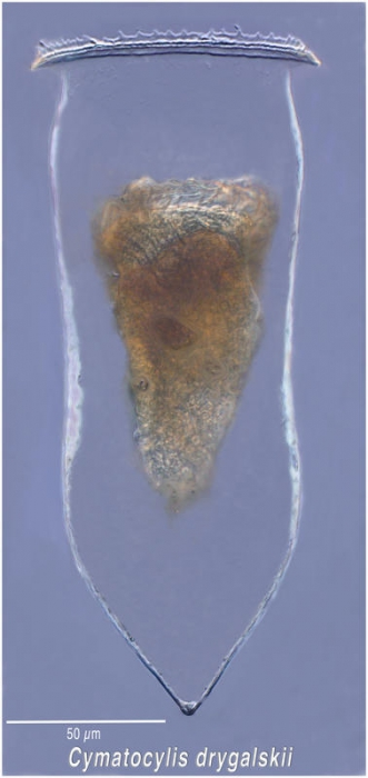 Cymatocylis drygalski Laackmann 1907