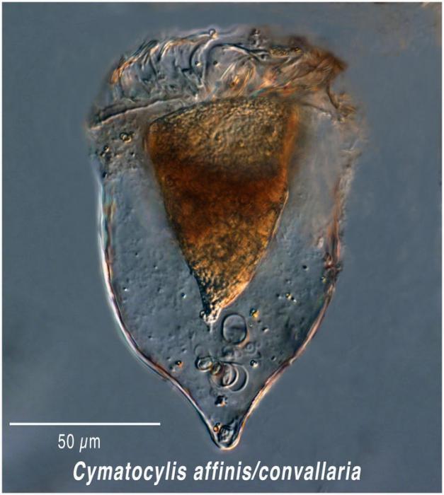Cymatocylis convallaria/affinis