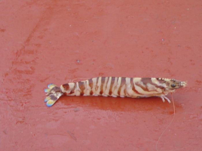 Penaeus kerathurus