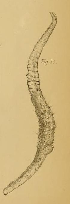 Cerianthus bathymetricus Mosley, 1877