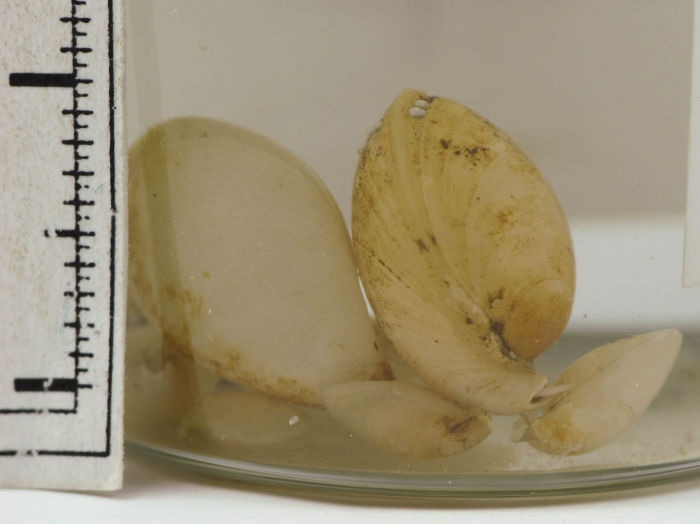 Glaciarcula spitzbergensis