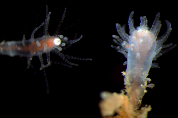 Asyncoryne sp. from Bali, Indonesia