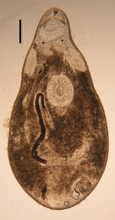 New species of Itaipusa (Koinocystididae, Kalyptorhynchia, Rhabdocoela, Platyhelminthes)