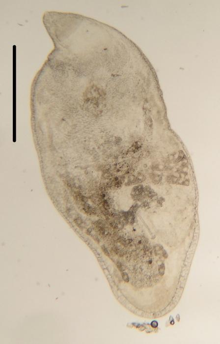Cystirete graefi (Cystiplanidae, Kalyptorhynchia, Rhabdocoela, Platyhelminthes)