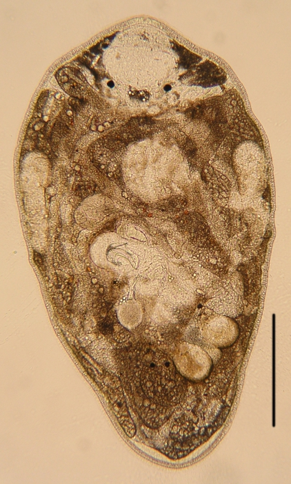 New species of Paraustrorhynchus. (Polycystididae, Kalyptorhynchia, Rhabdocoela, Platyhelminthes)