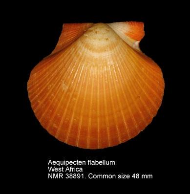 Aequipecten flabellum