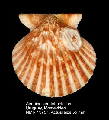 Aequipecten tehuelchus