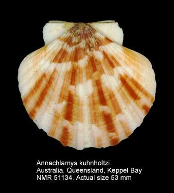 Annachlamys kuhnholtzi