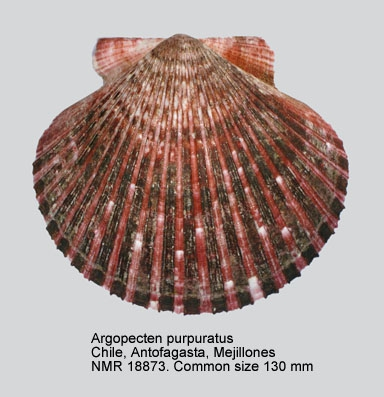 Argopecten purpuratus