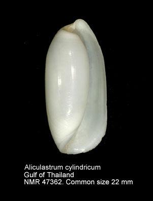 Aliculastrum cylindricum