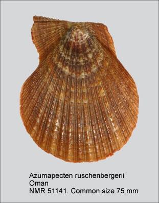 Azumapecten ruschenbergerii