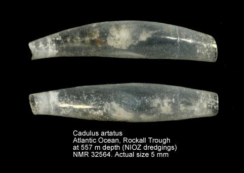 Cadulus artatus
