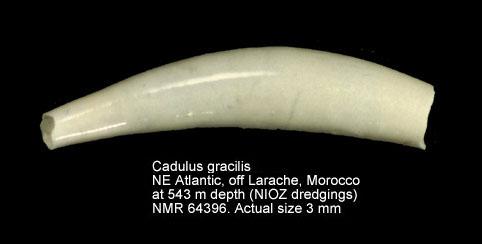 Cadulus gracilis