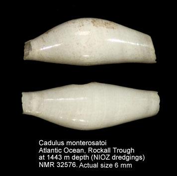 Cadulus monterosatoi