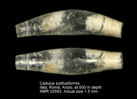 Cadulus subfusiformis