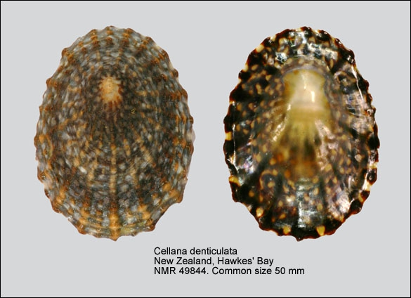 Cellana denticulata