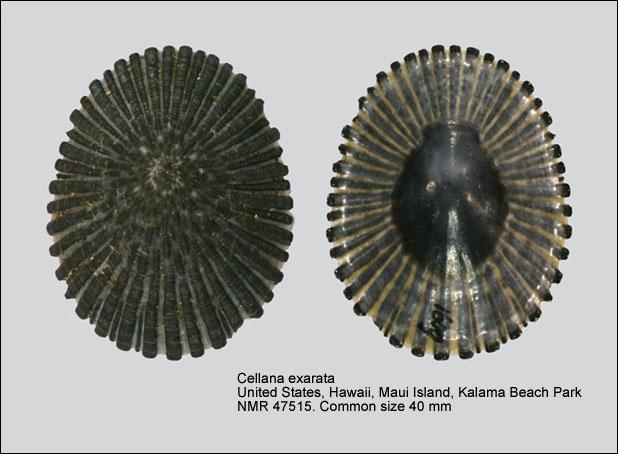 Cellana exarata