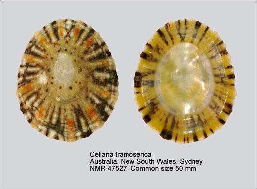 Cellana tramoserica