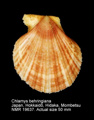 Chlamys behringiana