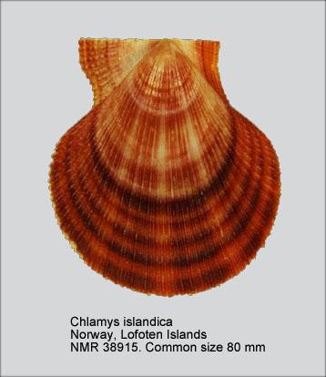 Chlamys islandica