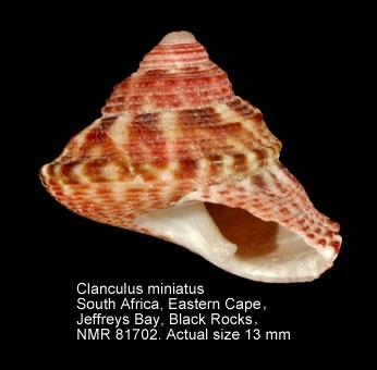 Clanculus miniatus