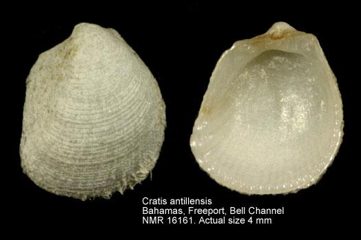 Cratis antillensis