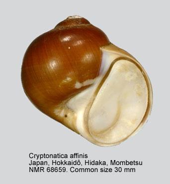 Cryptonatica affinis
