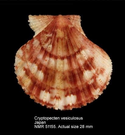 Cryptopecten vesiculosus