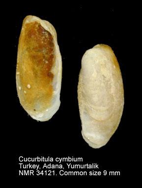 Cucurbitula cymbium