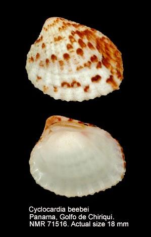 Cyclocardia beebei