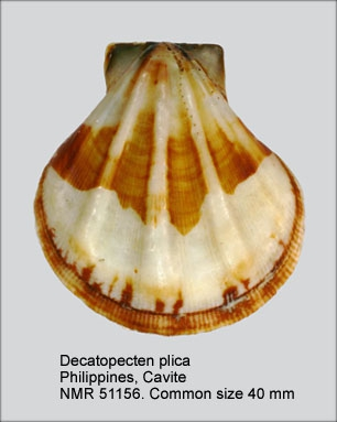Decatopecten plica