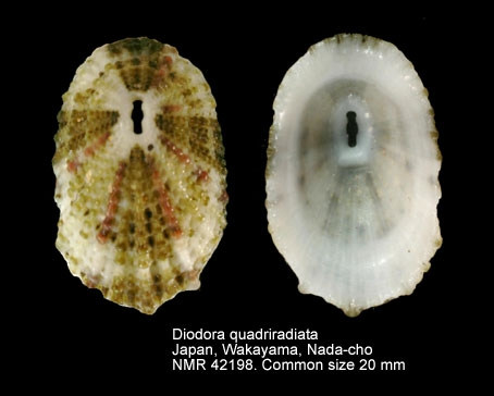 Diodora quadriradiata