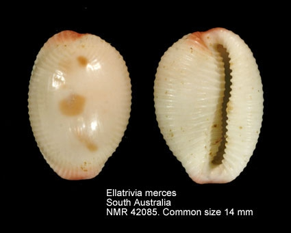 Ellatrivia merces