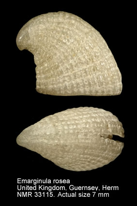 Emarginula rosea
