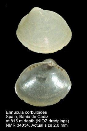 Ennucula corbuloides