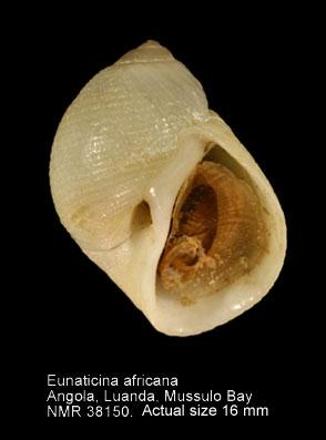 Eunaticina africana