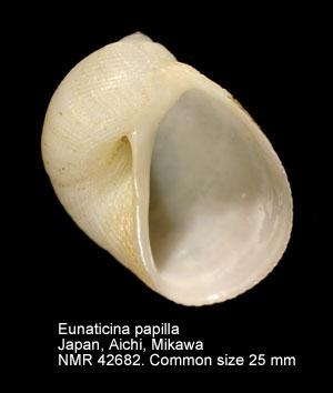 Eunaticina papilla