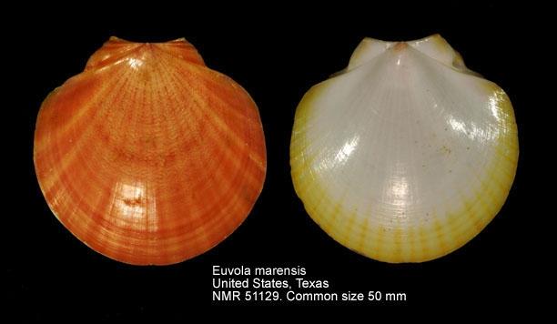 Euvola marensis