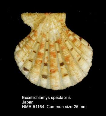 Excellichlamys spectabilis