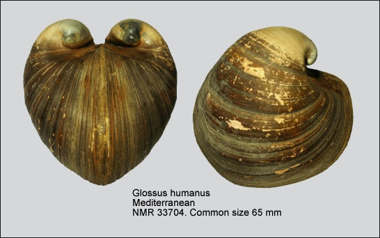 Glossus humanus