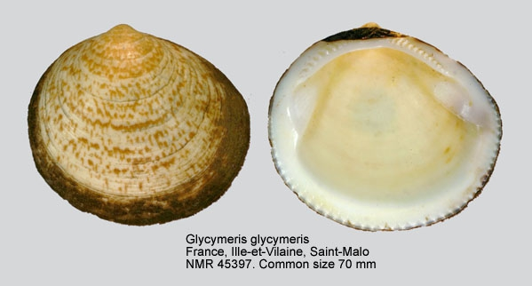 Glycymeris glycymeris