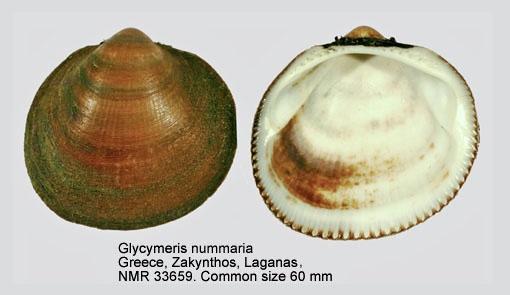 Glycymeris nummaria