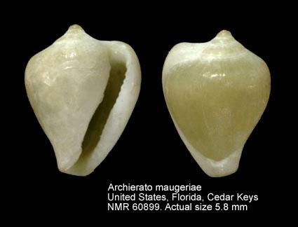 Hespererato maugeriae