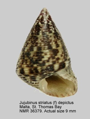 Jujubinus striatus
