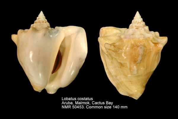 Lobatus costatus