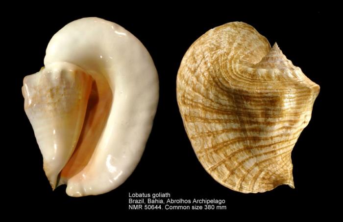 Lobatus goliath